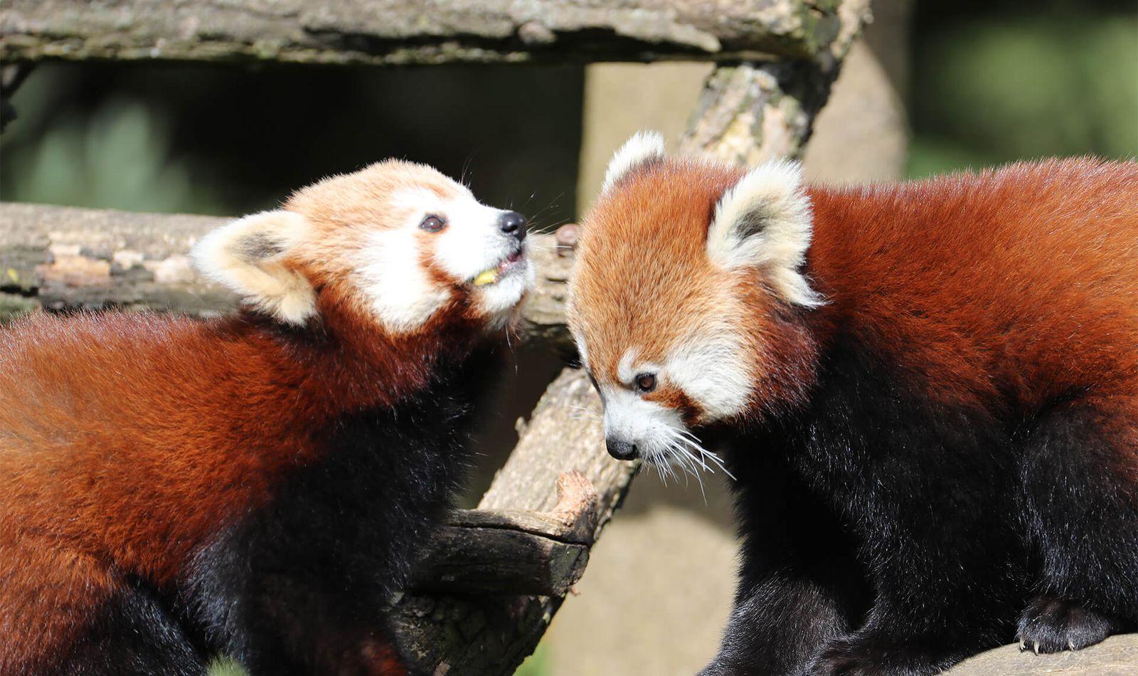 Pandas roux - Animaux extraordinaires du ZooParc