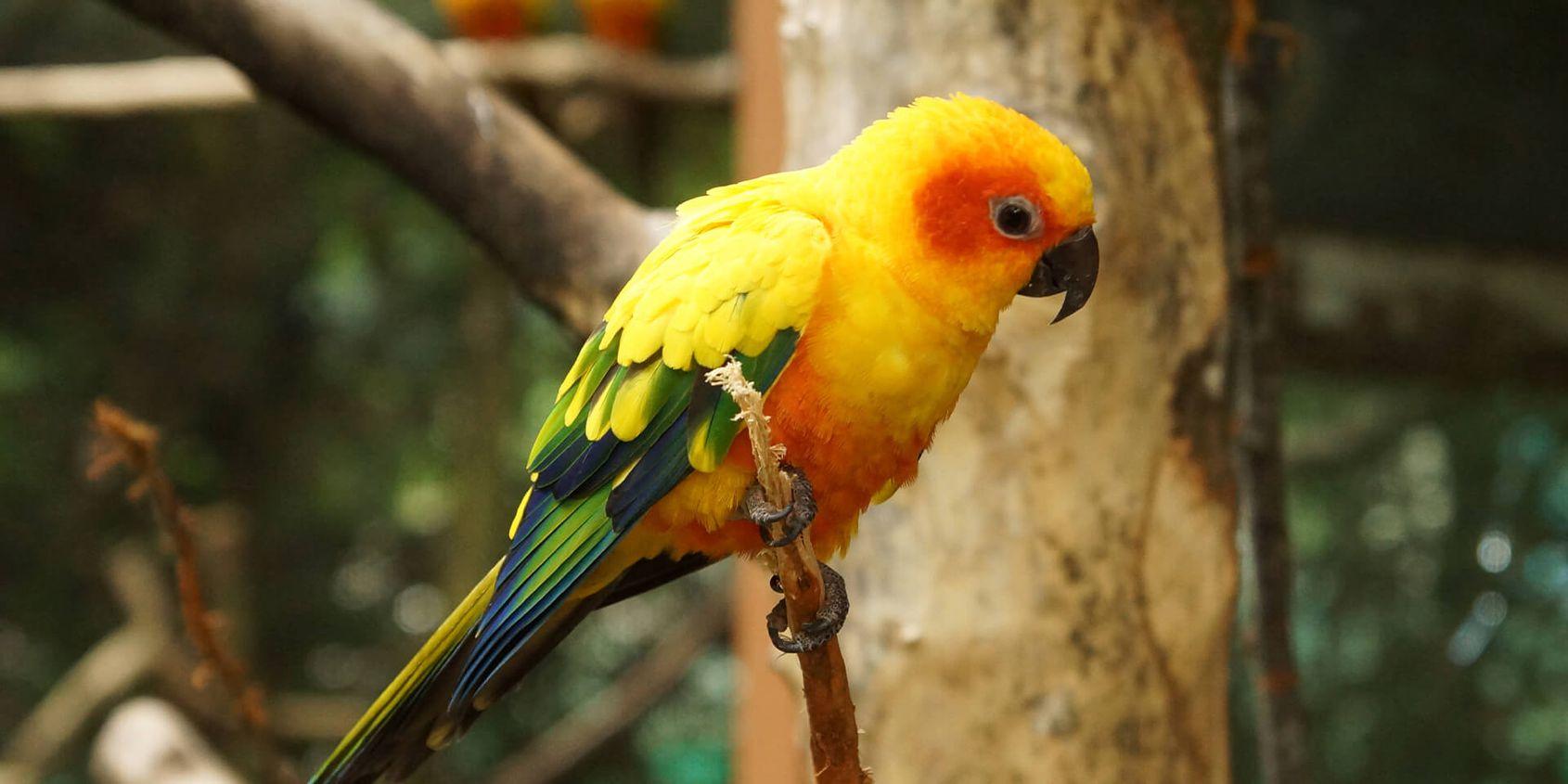 Conure soleil - Les animaux de La Rotonde des Perroquets - ZooParc de Beauval