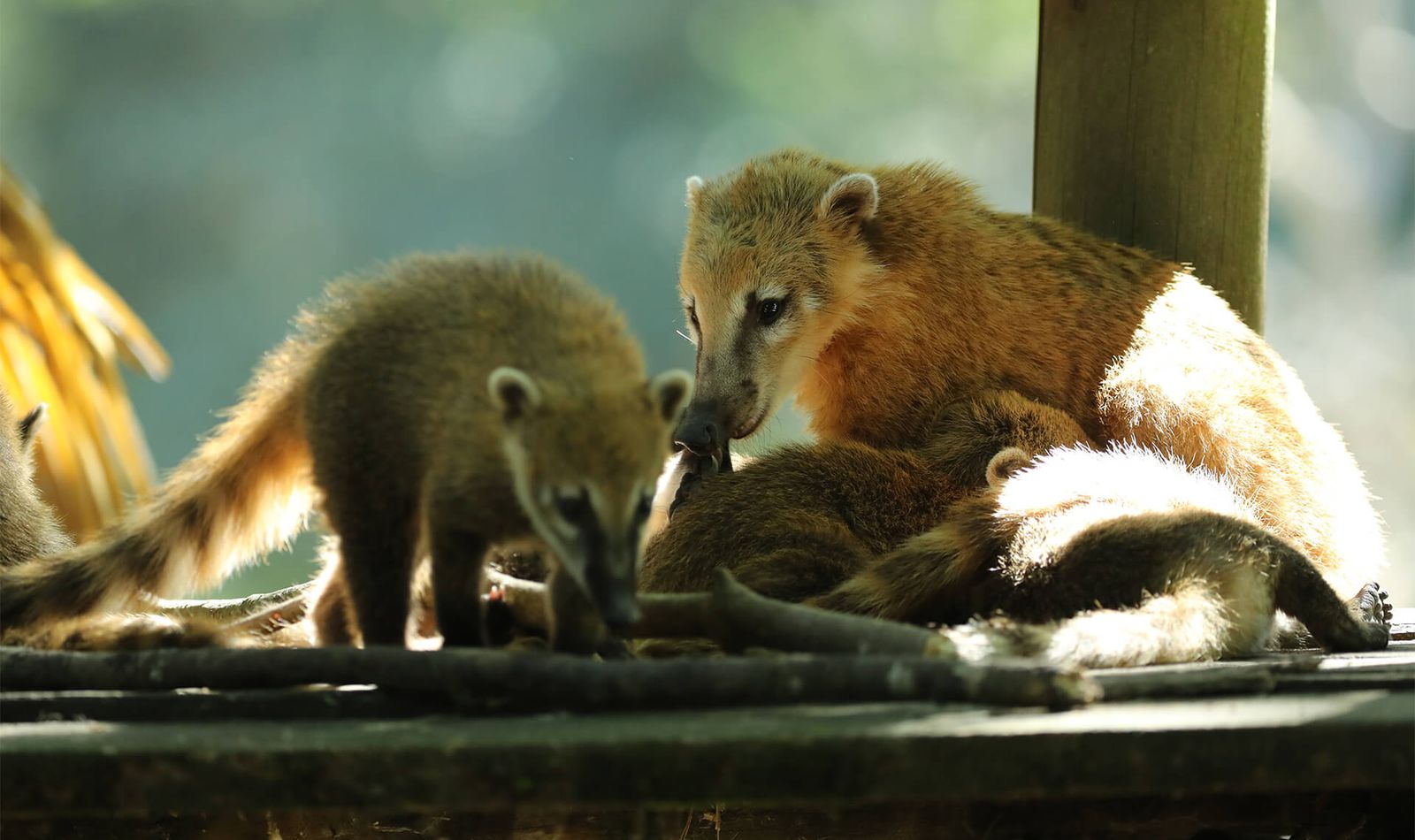 Coatis roux - Animaux extraordinaires du ZooParc