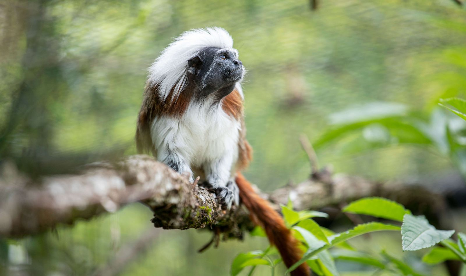 Tamarin pinché - Association Beauval Nature - ZooParc de Beauval