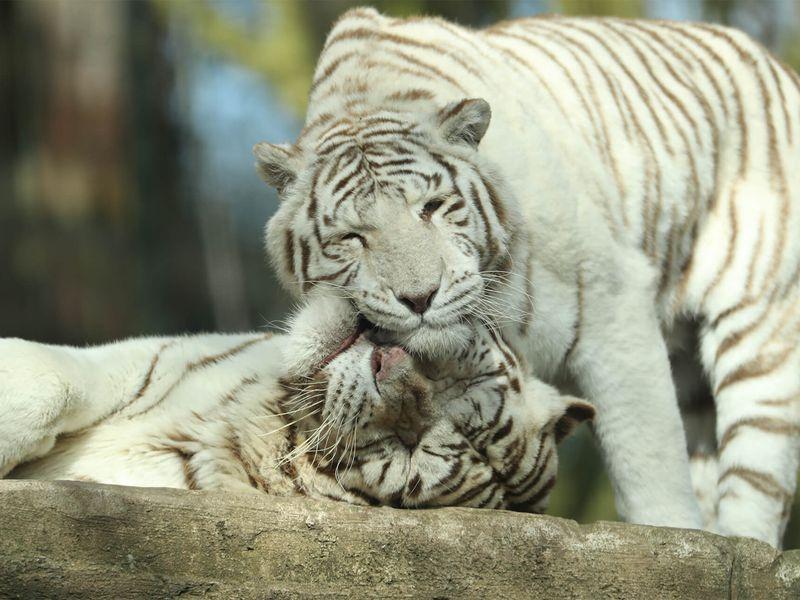 Tigres blanc - Animaux extraordinaires du ZooParc
