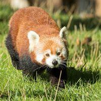 Panda roux - Animaux extraordinaires du ZooParc