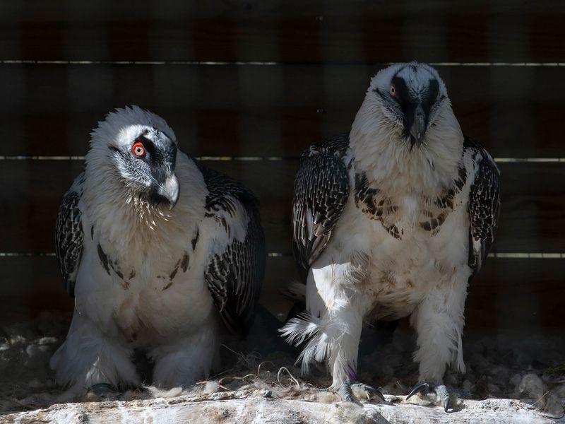 Gypaètes barbu - Animaux extraordinaires du ZooParc