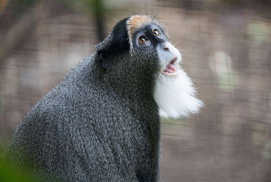 Cercopithèque de Brazza - Les animaux des Allées des Petits Singes - ZooParc de Beauval