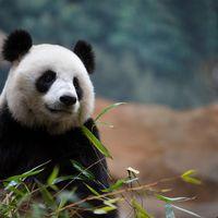 Panda géant - Animaux extraordinaires du ZooParc