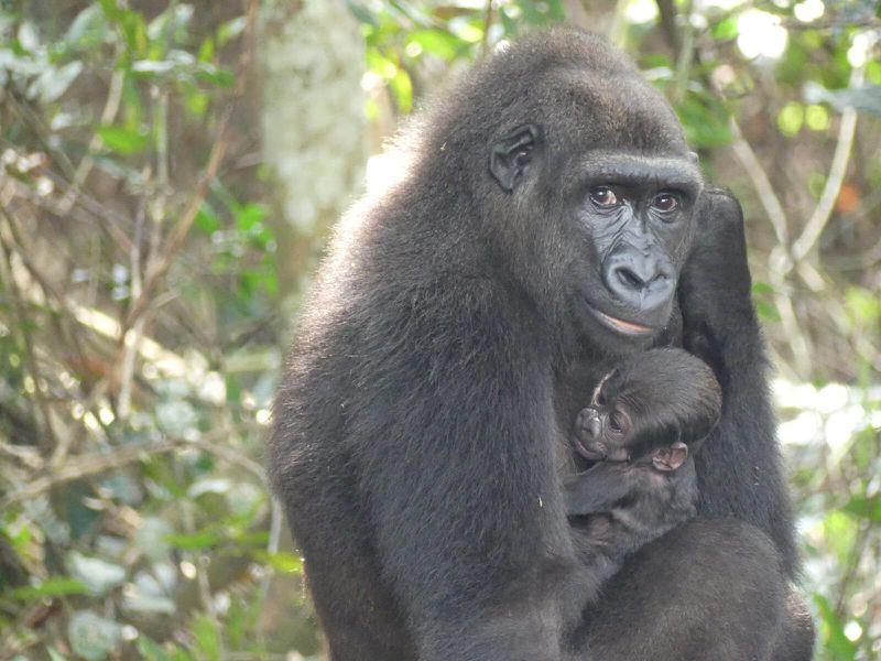Naissance gorille au Gabon - Association Beauval Nature - ZooParc de Beauval
