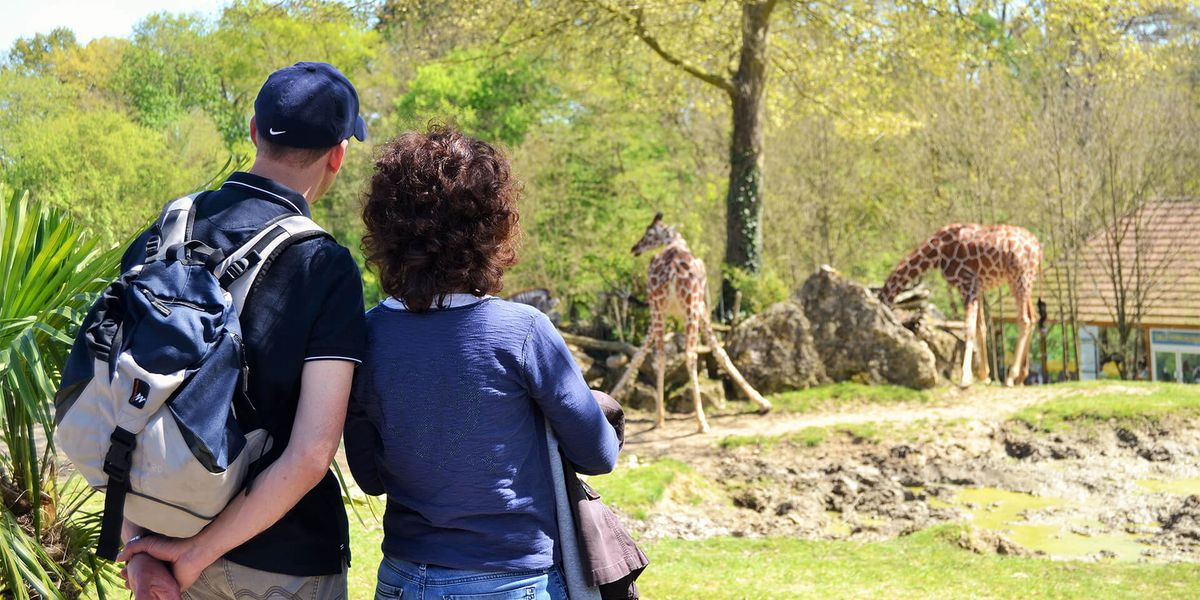 Vue imprenable sur les girafes