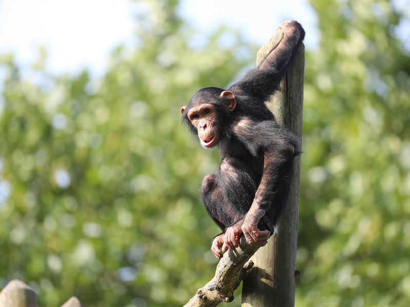 Chimpanzé sur son île - Les animaux de La Serre des Chimpanzés et Orangs-outans - ZooParc de Beauval