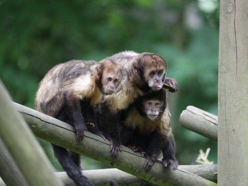 Groupe capucins - Les animaux des Allées des Petits Singes - ZooParc de Beauval